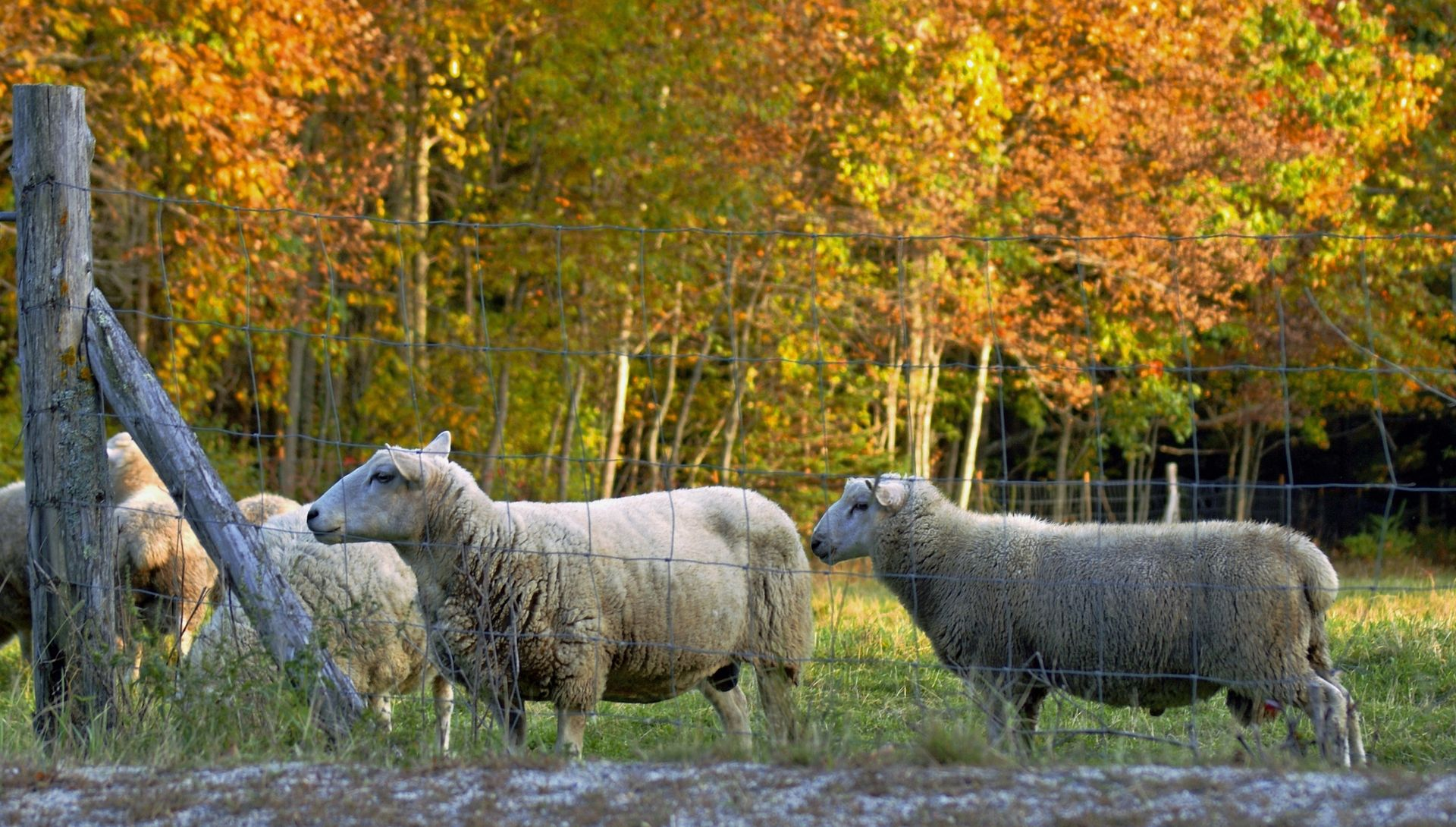 Of Sheep and Shepherds